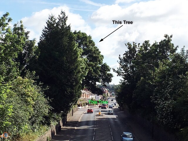 Belmont Road Tree's.jpg