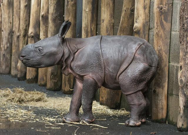 New-born_Indian_rhino_calf_born_at_West_Midland_Safari_Park_(4).thumb.jpg.42ab849e7aafeb1c5604afcf01c143be.jpg